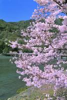 春の嵐山 サクラと渡月橋