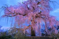 京都・円山公園の枝垂桜 ライトアップ