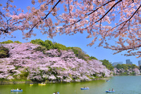 千鳥ヶ淵の桜 11076029649| 写真素材・ストックフォト・画像・イラスト素材|アマナイメージズ