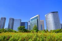 浜離宮恩賜庭園のコスモス畑と汐留高層ビル群