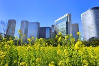 浜離宮恩賜庭園のナノハナ畑と汐留高層ビル群