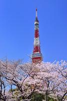 東京タワーと桜 11076029770| 写真素材・ストックフォト・画像・イラスト素材|アマナイメージズ