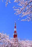 東京タワーと桜 11076029773| 写真素材・ストックフォト・画像・イラスト素材|アマナイメージズ
