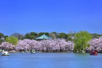 上野公園 不忍池と弁天堂に桜並木 11076029791| 写真素材・ストックフォト・画像・イラスト素材|アマナイメージズ