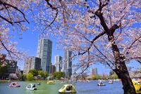 上野公園 不忍池と桜にボート