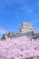 サクラと姫路城 11076029839| 写真素材・ストックフォト・画像・イラスト素材|アマナイメージズ