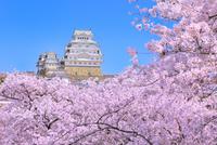 サクラと姫路城 11076029847| 写真素材・ストックフォト・画像・イラスト素材|アマナイメージズ