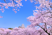 サクラと姫路城