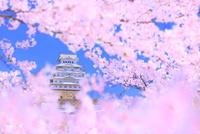 サクラと姫路城 11076029857| 写真素材・ストックフォト・画像・イラスト素材|アマナイメージズ