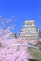 サクラと姫路城 11076029861| 写真素材・ストックフォト・画像・イラスト素材|アマナイメージズ