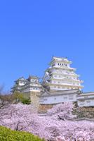 サクラと姫路城 11076029865| 写真素材・ストックフォト・画像・イラスト素材|アマナイメージズ