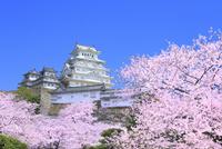 サクラと姫路城 11076029867| 写真素材・ストックフォト・画像・イラスト素材|アマナイメージズ