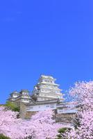 サクラと姫路城 11076029869| 写真素材・ストックフォト・画像・イラスト素材|アマナイメージズ