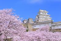 サクラと姫路城 11076029871| 写真素材・ストックフォト・画像・イラスト素材|アマナイメージズ