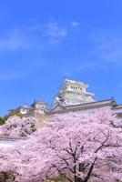 サクラと姫路城 11076029873| 写真素材・ストックフォト・画像・イラスト素材|アマナイメージズ