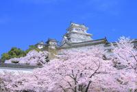 サクラと姫路城 11076029875| 写真素材・ストックフォト・画像・イラスト素材|アマナイメージズ
