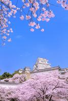 サクラと姫路城 11076029877| 写真素材・ストックフォト・画像・イラスト素材|アマナイメージズ