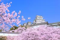 サクラと姫路城 11076029879| 写真素材・ストックフォト・画像・イラスト素材|アマナイメージズ