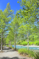 新緑の上高地,梓川と白樺林の小道