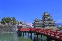 松本城,埋橋と桜に天守閣