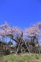 山高神代桜と実相寺 11076030094| 写真素材・ストックフォト・画像・イラスト素材|アマナイメージズ