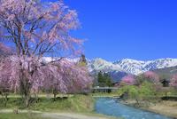 白馬大出,枝垂桜と白馬三山