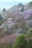 吉野山,下千本の桜 11076030150| 写真素材・ストックフォト・画像・イラスト素材|アマナイメージズ