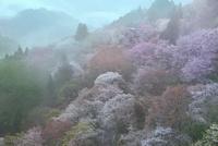 吉野山,下千本の桜 11076030151| 写真素材・ストックフォト・画像・イラスト素材|アマナイメージズ