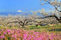 敷島地区より梅の花とヒメオドリコソウに富士山