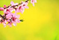 笛吹桃源郷 桃の花と菜の花