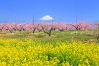 新府桃源郷 菜の花と桃の花に富士山