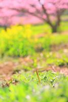 新府桃源郷 ツクシと菜の花に桃の花