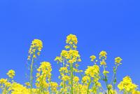 菜の花 11076030230| 写真素材・ストックフォト・画像・イラスト素材|アマナイメージズ
