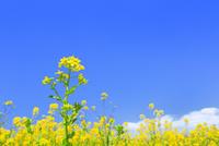 菜の花 11076030232| 写真素材・ストックフォト・画像・イラスト素材|アマナイメージズ