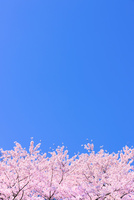 桜の花と青空 11076030238| 写真素材・ストックフォト・画像・イラスト素材|アマナイメージズ