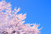 桜の花と青空 11076030239| 写真素材・ストックフォト・画像・イラスト素材|アマナイメージズ