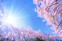 桜の花と青空に太陽