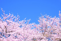 桜の花と青空 11076030249| 写真素材・ストックフォト・画像・イラスト素材|アマナイメージズ