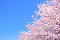 桜の花と青空 11076030253| 写真素材・ストックフォト・画像・イラスト素材|アマナイメージズ