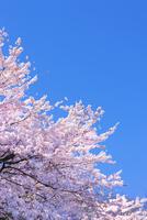 桜の花と青空 11076030261| 写真素材・ストックフォト・画像・イラスト素材|アマナイメージズ
