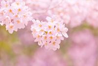 桜の花アップ 11076030262| 写真素材・ストックフォト・画像・イラスト素材|アマナイメージズ