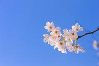 桜の花アップと青空