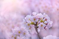 桜の花アップ 11076030297| 写真素材・ストックフォト・画像・イラスト素材|アマナイメージズ