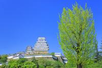 新緑の姫路城 天守閣と大イチョウ