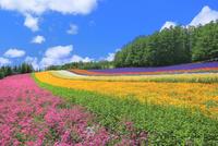 ファーム富田,彩りの畑(コマチソウ,カルフォルニアポピー)