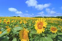 ひまわりの里,ヒマワリの花畑 11076030598| 写真素材・ストックフォト・画像・イラスト素材|アマナイメージズ