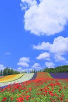 ファーム富田,彩りの畑(ポピー,ラベンダー)