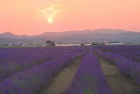 ラベンダーイースト,ラベンダーの花畑と夕日