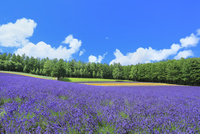 彩香の里,ラベンダーの花畑