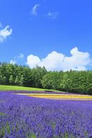 彩香の里,ラベンダーの花畑 11076030640| 写真素材・ストックフォト・画像・イラスト素材|アマナイメージズ